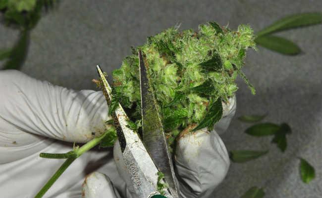 Trimming e manicure - Como limpar as flores de cannabis pos colheita